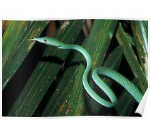Long-nosed Whip Snake, Ahaetulla nasuta, Sri Lanka Poster