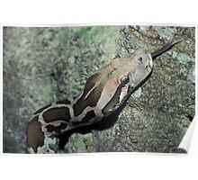 Indian Python, Python molurus, Sri Lanka Poster