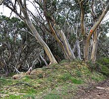 Snow Gums  near the Summit of Mt Stirling in Victoria by Alwyn Simple