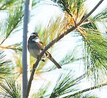 White-throated Sparrow by BioticCrisis