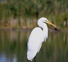 Up Close & Personal With An Egret by NewfieKeith