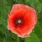 Pretty Orange Poppy by SunriseRose