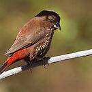What Finch is this one. by bowenite