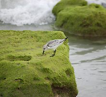 Sanderling With Tide At Juno Beach by BearheartFoto