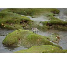 Juvinile Sanderling At Juno  Photographic Print