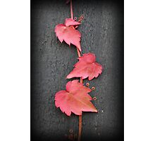 Baby Boston Ivy Leaves Photographic Print