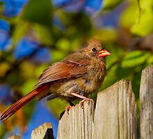 Female Northern Cardinal by John Absher
