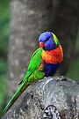 Rainbow Lorikeet. by Donovan wilson