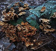 Turkey Tails by RVogler