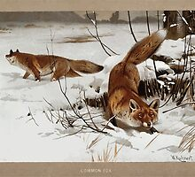 Friedrich Wilhelm Kuhnert Two foxes Canis vulpes in the snow Colour reproduction of Wellcome V0021580 by wetdryvac
