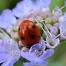 Ladybug Diving by Betsy  Seeton