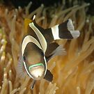 Blue-lipped Anemonefish - Amphiprion latezonatus by Andrew Trevor-Jones
