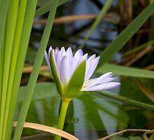 Reeds & Waterlily by Carolyn Boyden