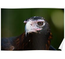 Wedge-Tailed Eagle Poster