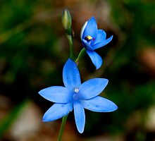 The Blue Lady Orchid (Thelymitra crinita) #2. by HG. QualityPhotography