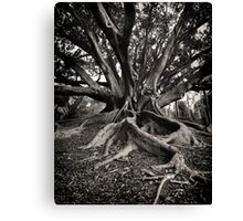 Morton Bay Fig ~ King's Park WA Canvas Print