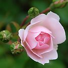 Rose and buds by John Morrison
