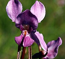 Purple Diuris (Diuris punctata) by Bev Pascoe