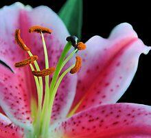 stargazer lily.. by Michelle McMahon