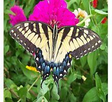Tiger Swallowtail Butterfly macro Photographic Print