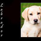 Labrador by wendywoo1972