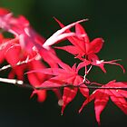 flames of fall Japanese Garden  by TerrillWelch