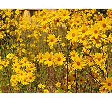 yellow flowers in a tuscan field(italy) Photographic Print