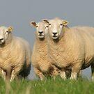 Curious Lleyn Sheep by Barrie Woodward