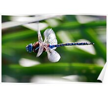 101711 Dragonfly  Poster