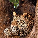 Leopard, Mashatu, Botswana by Sharon Bishop