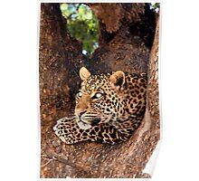 Leopard, Mashatu, Botswana Poster
