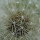 Dandelion Close up by Firefly4029
