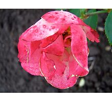 Governor General's rose 2 Photographic Print