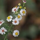 Wild Asters by Michael L. Colwell