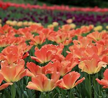 Field of Tulips by Michael L. Colwell