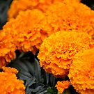 Merry Marigolds by claireh