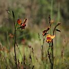 Dunsborough Donkey Orchids and Grasses by Leonie Mac Lean