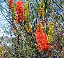 Hakea bucculenta - Andrew Thamo by Golden Valley Tree Park