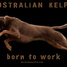 Australian Kelpie - born to work by Bill  Russo