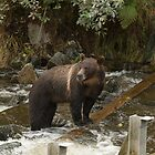 On the hunt - Great Bear Rainforest, Canada by SusanAdey