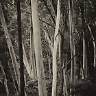 Blue Mountains Ash in mono by Geoff Smith
