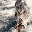 Peekaboo - Mareeba rock wallaby by Jenny Dean