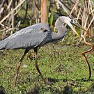 Great Blue Heron & The Water Snake II by Kathy Baccari