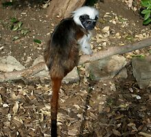 Cheeky Monkey by Avent101