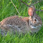 Peter Cottontail by William Brennan
