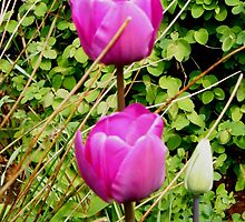 Spring Tulips by ElsT