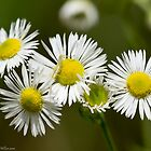 Daisy Chain by Lee Hiller