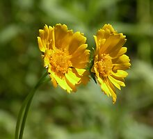 Twin yellow coreopsis by Martha Sherman