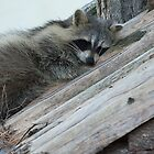 Sleeping Raccoon by Benjamin Brauer