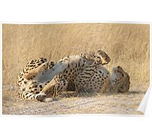 Lie back and think of cheetahs Poster